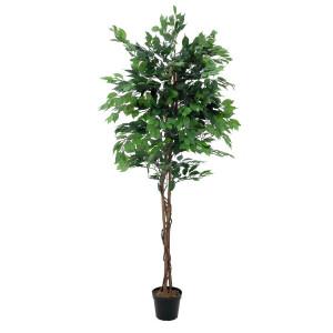 Laub- und Ficusbäume